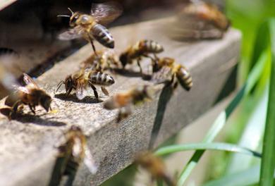Bienenwanderung – Bienen in der Nahansicht