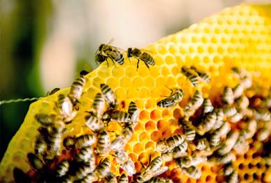 Bienenwanderung – Bienen im Stock bei der Arbeit