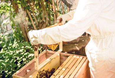 Bienenwanderung – Imker nimmt Wabe in die Hände