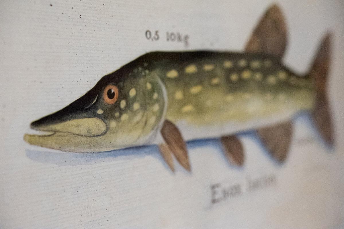 Biohotel Bavaria Fliegenfischen Fischzeichnung